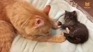 「かわいい猫」 笑わないようにしようとしてください - 最も面白い猫の映画 #172