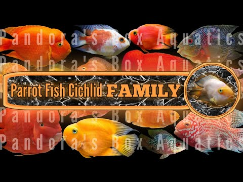 Fertile Parrot Fish Cichlid With FRY #2