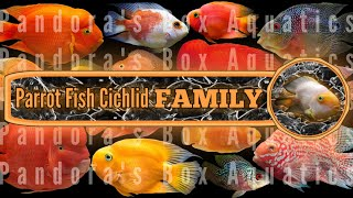 Fertile Parrot fish cichlid with FRY #15