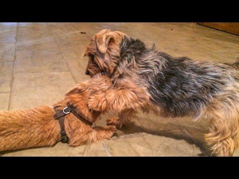 Norfolk Terrier Puppy Ernie Learns To Wrestle