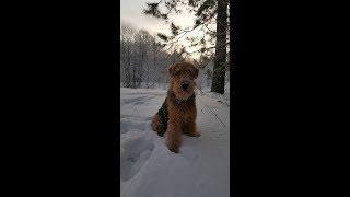 Как научить собаку петь. Мой пёс Дар поёт.
