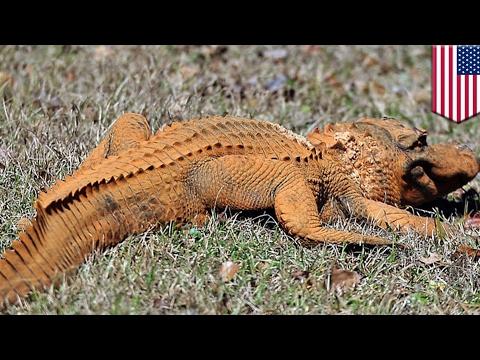 Trumpagator: Alligator colored orange like President Trump spotted in South Carolina - TomoNews