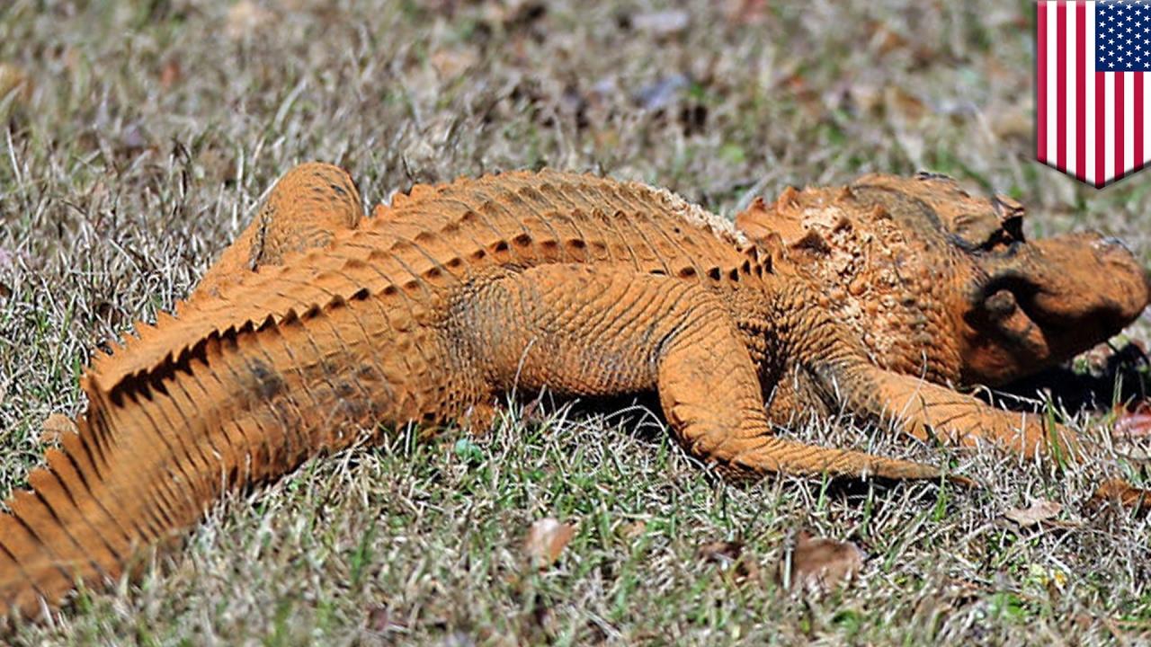 trumpagator alligator colored orange like president trump spotted