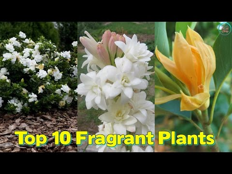 Top 10 Fragrant Plants To Make Your Every Day A Refreshing & Fragrant