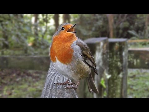 Robin Bird Song - Singing with Passion - The Loudest Robin Ever