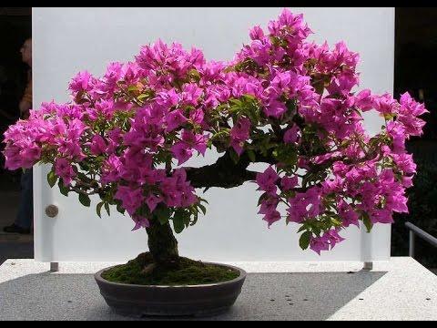 Bougainvillea bonsai is amazing tree youtube for Bougainvillea bonsai prezzo