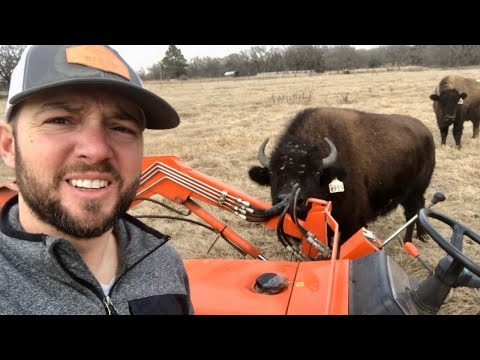 one-bison-gets-excited,-they-all-get-excited!