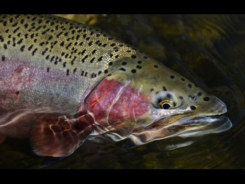How To Catch Trophy Trout At Lake Almanor: Episode 6