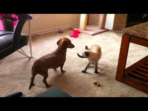 Dog vs cat. Mini dachshund and siamese