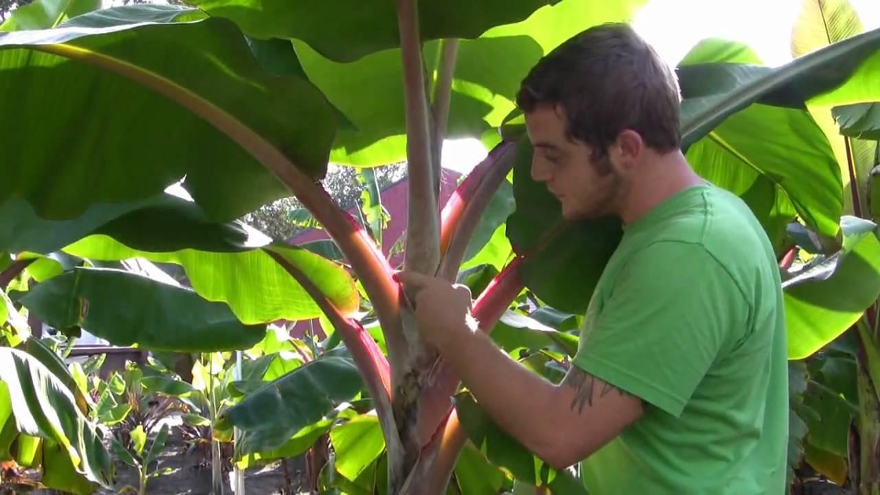 Plant Jamaican Red Banana Trees