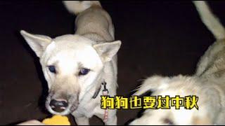 狗狗也要过中秋,小代给田园犬派发月饼,小豆豆吃了三个