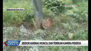 Seekor Harimau Muncul dan Terekam Kamera Pekerja di Riau