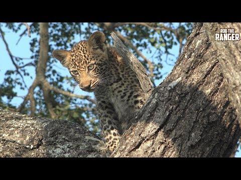 Scotia Female Leopard And Cub, Part 4