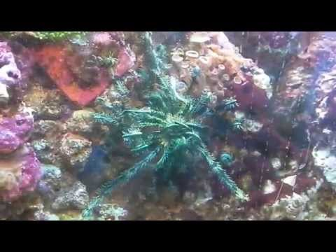 Crinoid (feather star) in my tank