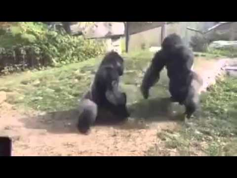 These two gorillas boxing it out