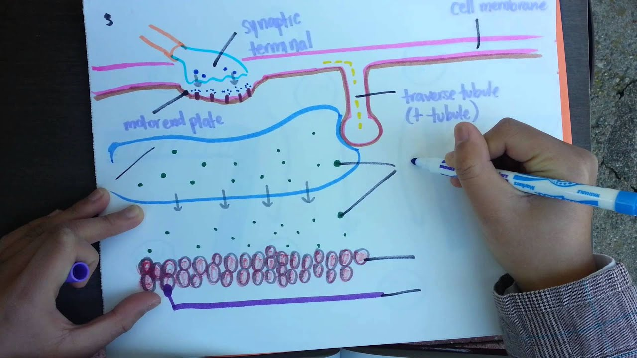 muscle contraction video project - youtube, Muscles