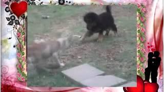 Собачьи бои Тибетский мастиф и pitbull!