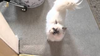 MEOW meow hungry PERSIAN kitty!