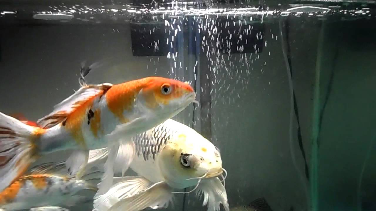 Butterfly koi fish tank update youtube for Keeping koi carp