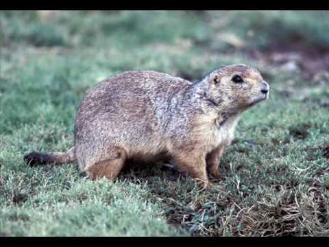 The Prairie Dog Song