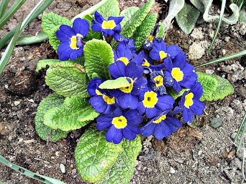 Как вырастить примулу садовую из семян? Советы Валентины Лебедевой