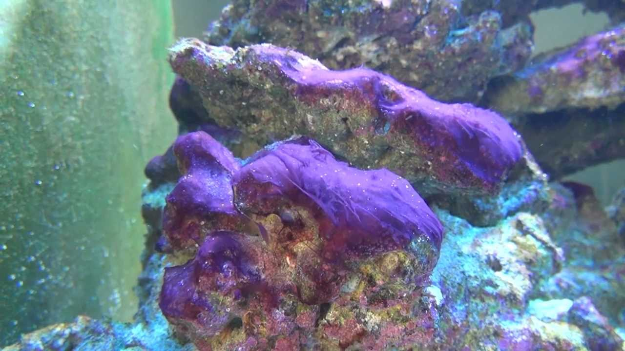 cyanobacteria in my reef tank youtube