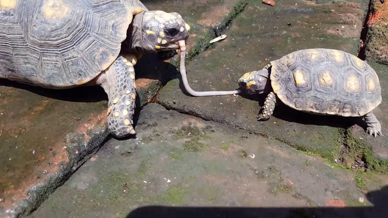 la tortuga tiene gusanos