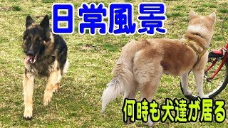grandchild and German Shepherd dog JAPANESEAKITA 秋田犬は今日も元気...