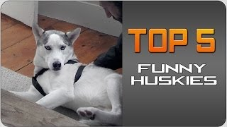 #Top5 Funny Huskies | JukinVideo Top Five