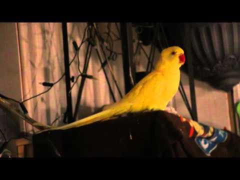 Halsbandsittich Henne  zeigt ihrem Kerl wie man balzt