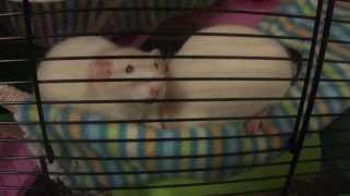Watch Your Rats, They Are More Interesting Than Television, with Rosie and Poppy.