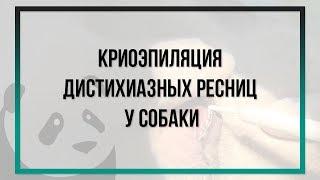 """Криоэпиляция дистихиазных ресниц  у собаки электрокриодеструктором АО """"НПО """"НИКОР"""""""
