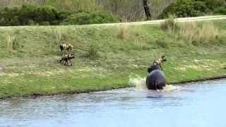 Amazing Footage!! Battle in Sabi Sands, een nijlpaard,wilde honden en een zwemmende impala
