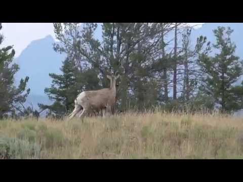 Bighorn sheep  - Yellowstone