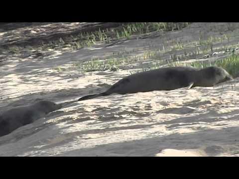 Monk Seals Frolick Kalaupapa