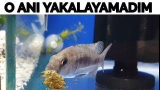 Kusma Anini Yakalayamadim, İmparator Yavrularini Kustu, Akvaryum Balıkları, Balı