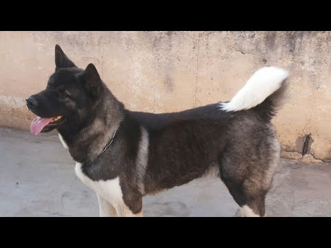 Show Quality Akita  Adult Female for Sale in India. (Father: American Indian Champion)
