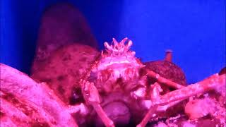 Будни аквариумиста. Японский краб-паук. Macrocheira kaempferi. SPIDER-CRAB.