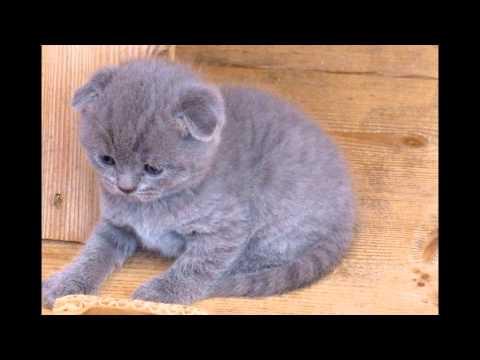Шотландская вислоухая кошка, или скоттиш фолд (Scottish fold cat) породы кошек( Slide show)!