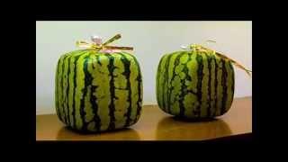 Как вырастить квадратный арбуз своими руками(http://www.portalznaniy.ru/2011-01-30-17-54-52/item/76-kak-vyirastit-kvadratnyiy-arbuz-svoimi-rukami.html Ознакомительное видео о том как вырастить ..., 2011-05-23T09:00:36.000Z)