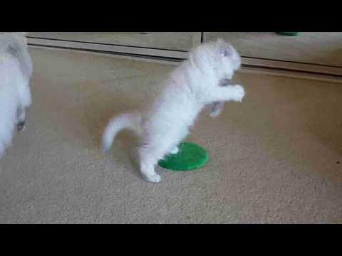 Aaralyn Burmillas Lotus kittens May 2009  - week 8 (Mia)