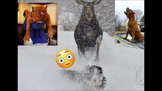 THE HULK LIFE: He jumped the fence and chased a MOOSE!!!!!!