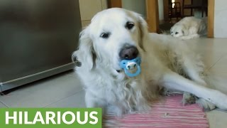 Golden Retriever refuses to give up pacifier