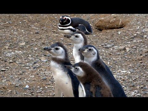Magellan  Penguins Up Close At The Magdalena Penguin Reserve
