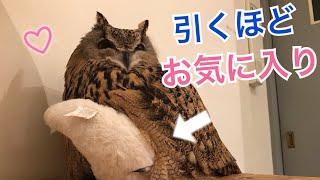 フクロウのトルちゃんが引くほどお気に入りになった人形とは!【What is the doll that became favorite enough for Toru of an owl 】