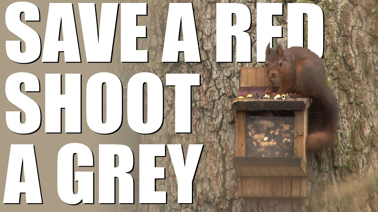 Wildlife Trusts (reluctantly) call for grey squirrels to be shot