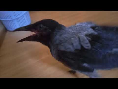Кормление вороны, убойное