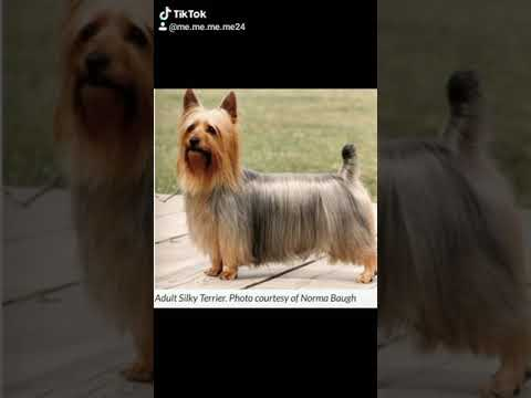 Yorkshire terrier vs Silky terrier. Two different breeds. #Tiktok