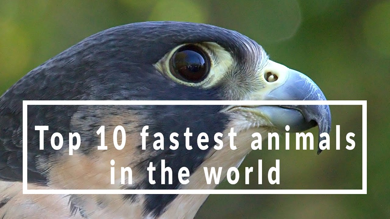 Fastest animal in air
