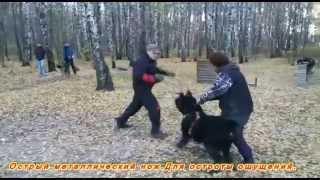 Охрана хозяйки собакой,черный терьер.